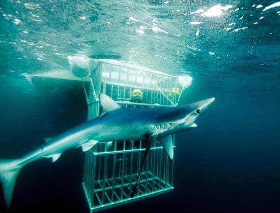 An image of a diver in a safe and secure Florida Shark Diving shark cage.