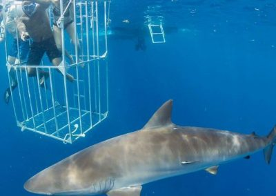 Visitors experience the thrill of shark diving from the safety of a shark cage.