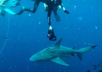 Divers swim with a shark off the coast of Florida with Florida Shark Diving