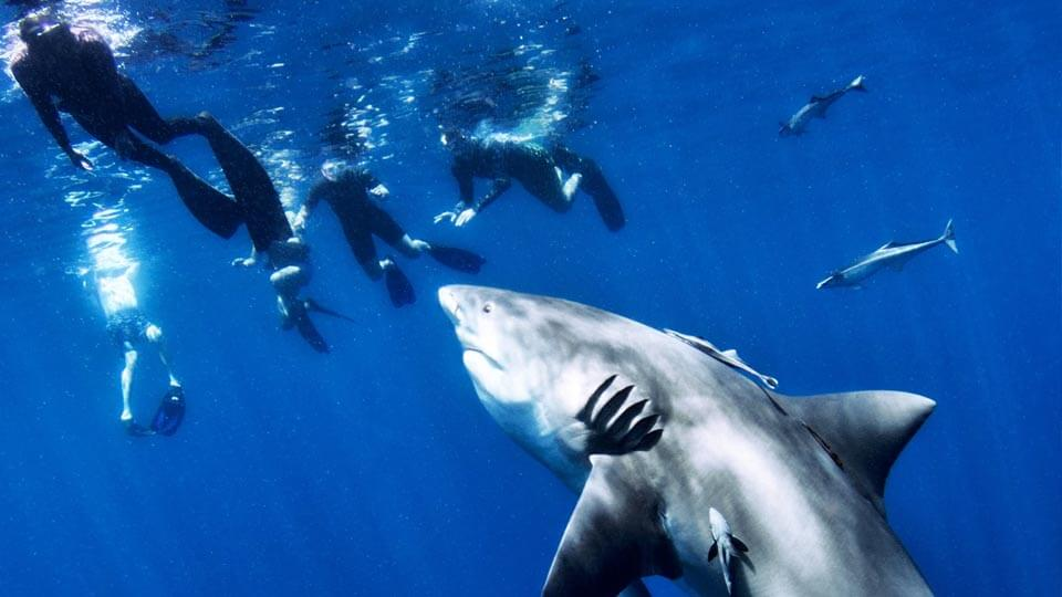 Get photos and video of your shark dive with Florida Shark Diving.