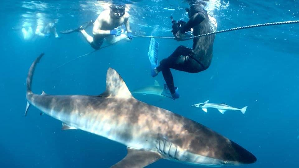 An image of a Florida Shark Diving cameraman filming with divers and sharks on a Florida Shark Diving tour.