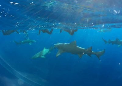 Florida Shark Diving Photos