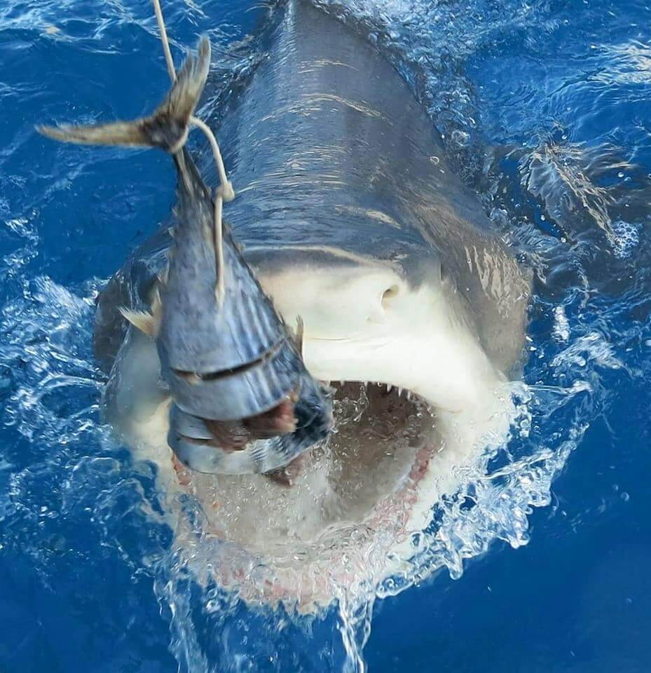 An image of a shark coming right to the boat on a Florida Shark Viewing charter with Florida Shark Diving