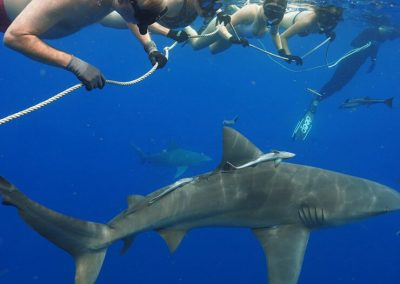 An image of Florida Shark tour guests in the water with sharks holding onto dive rope.